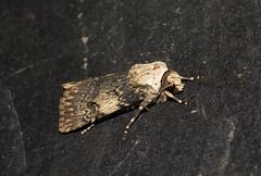 Agrotis puta (zimbart) Tags: arthropoda belgium fauna heterocera lepidoptera malderen marselaer moths insects hexapoda insecta locations agrotis agrotisputa noctuidae noctuinae