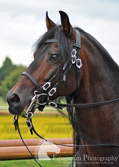 Petra Korhfer (Vicktrr) Tags: majestic horses bremen germany galopprennbahn race course bremer pferdetage horse friesian andalusian andalucian pre stallion spanish equine equestrian barrel racing cowboy indians paint lunging vaulting pinto