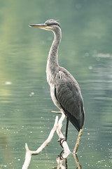 Grey heron (Shane Jones) Tags: greyheron heron bird wader predator wildlife nikon d500 200400vr tc14eii