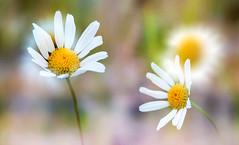 two flowers (augustynbatko) Tags: flowers white nature macro garden summer