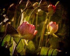 textured lotus (cydog66) Tags: lotus lotusflower texture