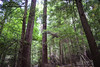 Old Growth Forests (Backwoods Brookie) Tags: old growth virgin primeval forest timber ancient hemlock whitepine
