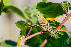 American Goldfinch (Female) in the Sunflowers (wanderinggrrl) Tags: picofweek shutterstock year4week14 americangoldfinch avian bird eating farm feather feathers female finch flower garden nature northamerica ornithology perched perching seeds sitting songbird summer sunflower usa wildlife wing yellow