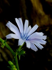 Chicory  bloom   (Flowermanjoe) Tags: