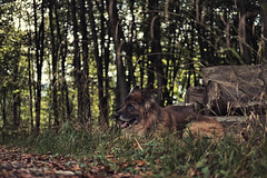 Have a breather (mexou) Tags: ouchki dog gsd woods wood lane green