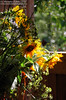Sunflowers in the Shed (sminky_pinky100 (In and Out)) Tags: tangledgarden novascotia canada travel tourism stilllife pottingshed light indoors cans2s omot sunflowers flowers floral