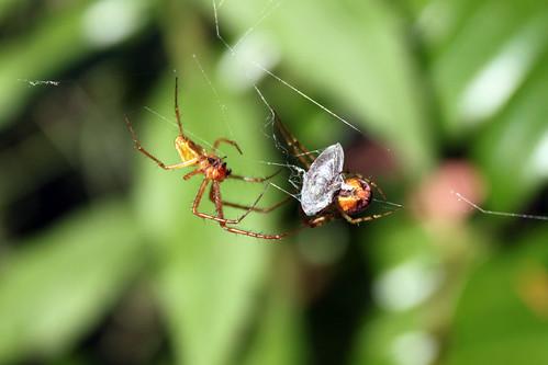 051_Spinnenpaarung