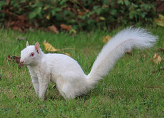 Autumn visitor (that Geoff...) Tags: squirrel white albino autumn autumnal autunno leaves cute canon 70d explored