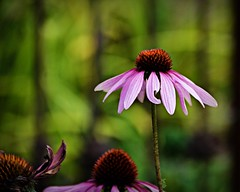 The Tall One (blamstur) Tags: coneflower flower echinacea purple bokeh