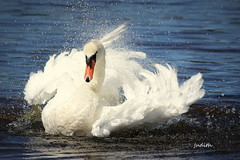 """""""I'm making my own Jacuzzi!"""" (judecat (back with the pride)) Tags: nature wildlife newjerseywildlife capemaypointstatepark newjersey muteswan"""