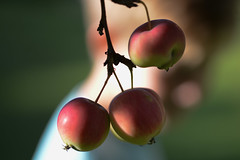 Apples (Fraila) Tags: apple dof nikon d600 nikkor105mmf28gvrmicro apples summer august red green