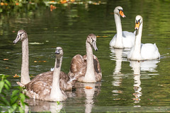 Swanning about in Arundel (Nathan Dodsworth Photography) Tags: swans cygnets family group light river arundel wildlife wetlands reflections tranquil tranquility calming restful peace white outdoorswestsussex uk