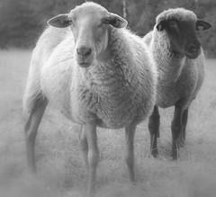 """ Sheep Gildehauservenn  "" (Kalbonsai) Tags: sheep schape naturphotography naturshot portraitmonochrome bw outdoorphotography gildehauservenn nikon d5100 1685mm closeup mono"