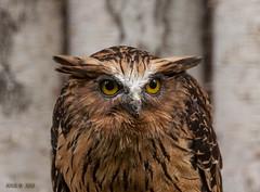Walsrode, Weltvogelpark, Eule (joergpeterjunk) Tags: walsrode weltvogelpark outdoor tier vogel canoneos50d canonef100400mmf456lisusm eule