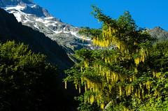 """""""un colore...un'emozione..."""" (santi_riccardo) Tags: maggiociondolo alpi montagne giallo naturalmente"""