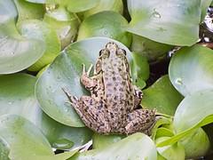Frog (OSChris) Tags: goldfishpond pickerelfrog