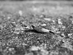 Clamshell (swedeshutter) Tags: clamshell clam shell ocean rock short depth field shallow west coast gothenburg sweden 25mm f18 black white em10 olympus