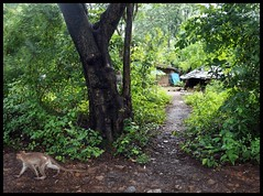 Mumbai's CITY  FOREST  @SGNP (indianature13) Tags: sgnp cityforest forest westernghats maharashtra mumbai indianature india nature sanjaygandhinationalpark monkey adivasisinsgnp adivasi adivasipada