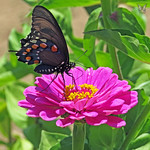 Butterfly and zinnia flower thumbnail