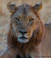 If Looks could Kill !! (Doreen Bequary) Tags: botswana lion pride africa afs200500mm d500 choberiver safari carnivore mammal cat