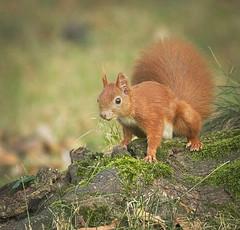 On a root (hedera.baltica) Tags: squirrel redsquirrel eurasianredsquirrel wiewirka wiewirkapospolita sciurusvulgaris