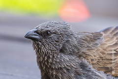 See the blue sky in my eye (G. Cordeiro) Tags: struthideacinerea apostle bird wildlife aves avian nature closeup australian