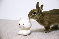 ICHIGO san 390  (mensore) Tags: rabbit bunny netherlanddwarf brown cute pet family ichigo