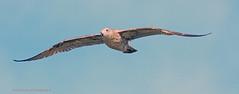 Herring Gull (rumerbob) Tags: herringgull gull bird birdwatching shorebird nature wildlife wildlifephotographer waterbird canon7dmarkii canon100400mmlens
