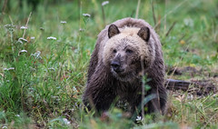 on the alert !!!! (wesleybarr1962) Tags: grizzly grizzlybear grizzlybearcub