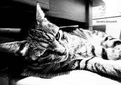 The cat is on the chair (sandra_simonetti88) Tags: cat gatto chat sedia chair bw bn micio pet