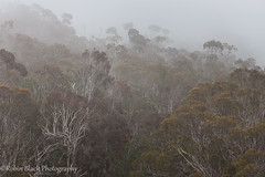 Eucalyptus Forest in Fog (Montana de Oro) (Robin Black Photography) Tags: california statepark mist tree misty fog forest landscape coast ngc foggy coastal montanadeoro layers eucalyptus naturesbest nationalgeographic invasivespecies outdoorphotographer canon5dmarkii robinblackphotography