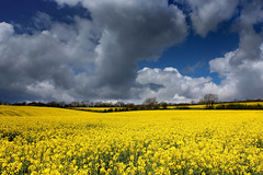 Sea of yellow (snowyturner) Tags: flowers sky yellow clouds landscape spring day cloudy devon fields canola rapeseed southhams ermington hollowcombe