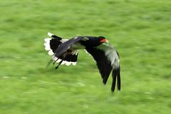 "Mountain Cara Cara in flight (FlyingV99) Tags: school bird hall flying suffolk eagle display country fair owl falcon 2012 talons prey"" ""birds heveningham ""english falconry"""