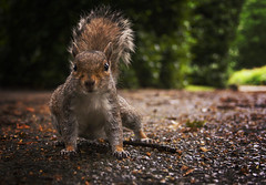 195/366 - Squirrel (beeblebear) Tags: park canon project squirrel chester 365 vignette 366 project365 eos400d project366