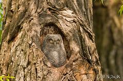 Eastern Screech Owl (OlaNowak) Tags: owl eastern screech asio easternscreechowl megascopsasio megascops