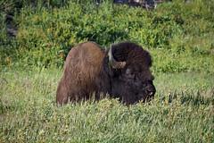Bison (Philip Kearney) Tags: usa green grass animal iso100 unitedstates wildlife unitedstatesofamerica f90 yellowstonenationalpark northamerica yellowstone wyoming bison kearney philip wy philipkearney philipkearney