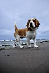 Hitting the beach (Sean Lewthwaite) Tags: beach beagle scotland swedish girvan