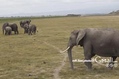 /Amboseli National Park (mR.Son.Photo) Tags: africa elephant kenya safari amboseli   amboselinationalpark   republicofkenya