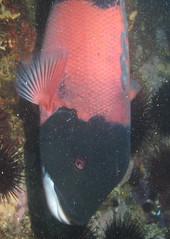 Male Sheepshead (Ed Bierman) Tags: scuba diving marinelife anacapa divingtrips ncrd northerncaliforniarainbowdivers gaydiving californiamarinelife