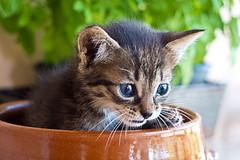 Trasto II (Juan Antonio Cap) Tags: animal cat kat feline chat fuji gato felino fujifilm katze mace  gatto  kot gat koka kedi kissa kttur maka kucing x10 pusa mo moix    minino    pisic        fujifilmx10 fujix10