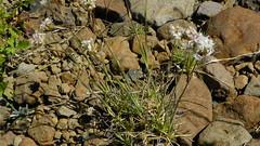 Eremogone congesta var. congesta  100_0683 (sierrarainshadow) Tags: mountains oregon steens var congesta eremogone