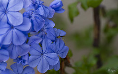 Blue (Raph/D) Tags: blue flower fleur colors field canon garden insect eos dof bokeh bleu 7d depth catchy canoneos7d