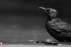 Birdie I (vj_photography) Tags: chicago bird art droplets institute