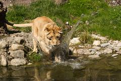 Splash (Cloudtail the Snow Leopard) Tags: cat zoo leo zurich joy lion bigcat katze zrich lioness lwe panthera raubkatze lwin groskatze flickrbigcats
