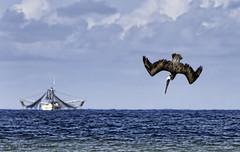 Diving Pelican (Steven Sobel) Tags: ocean bird nature boat fishing florida wildlife birding dive diving pelican flaglerbeach fz150