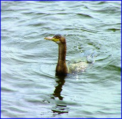 Scotland river Clyde a Cormorant after diving for fish 3 August 2012 by Anne MacKay (Anne MacKay images of interest & wonder) Tags: 3 by river anne scotland clyde picture august cormorant mackay 2012