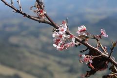 CAMPOS DO JORDO - VISTA CHINESA (Juh.ninho) Tags: inverno frio noturnas cerejeiras camposdojordo capivari fcpa clicksp parquedascerejeiras juhninho