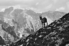 Zlatorog (bebo82) Tags: blackandwhite bw pentax montagna biancoenero zlatorog triglav camoscio tricorno pentaxk20d pentaxk20