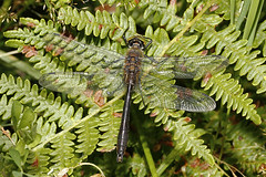 Downy Emerald (Robert Horne Wildlife Photography) Tags: west canon sussex dragonfly emerald downyemerald