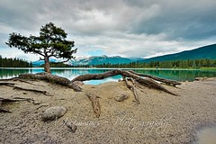 Lac Beauvert Pine (seanajsimmons) Tags: canada mountains nature forest landscapes nikon jasper lakes 1424mm ajsimmons d800nikon